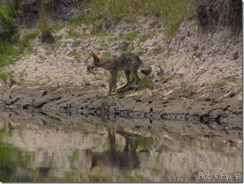 coyotespragueriver