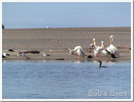 pelicansbill