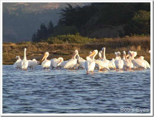 pelicansisland