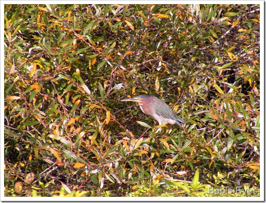 greenheron