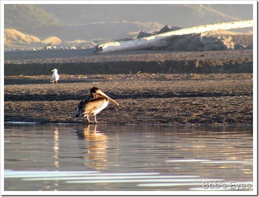 pelicanbrown