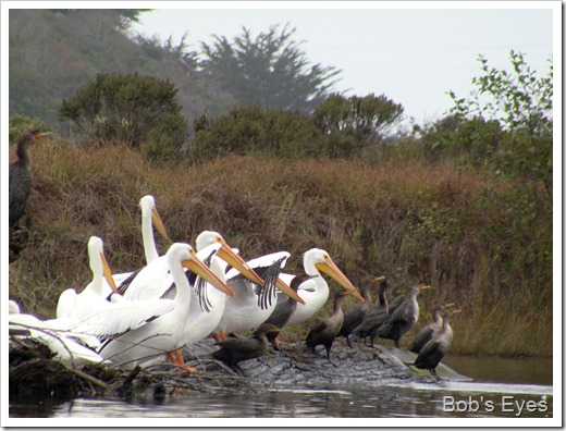 pelicansandcormorants