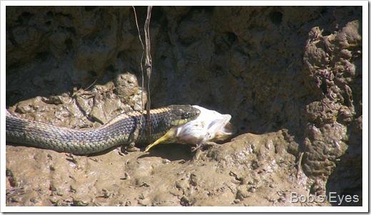 snakefish4