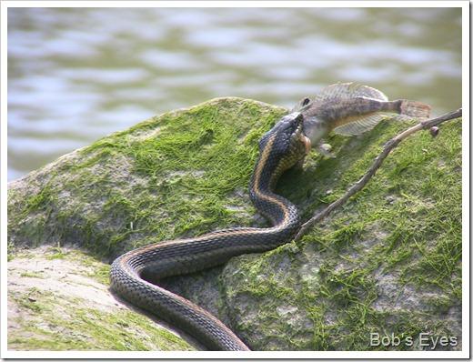 snakefisheat5