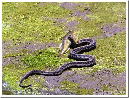 snakefishland2
