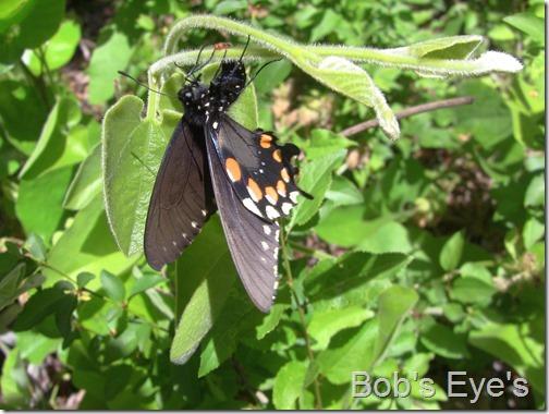 butterflylayeggs