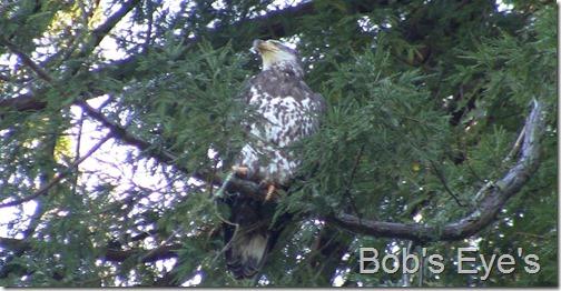 eagle9