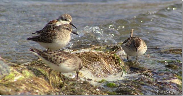 buddybirds