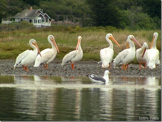 islandbirds5