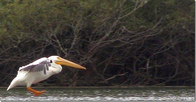 pelicanlanding