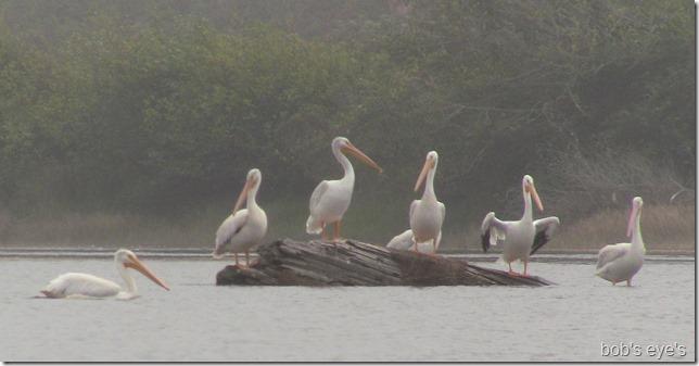pelicansfoggy