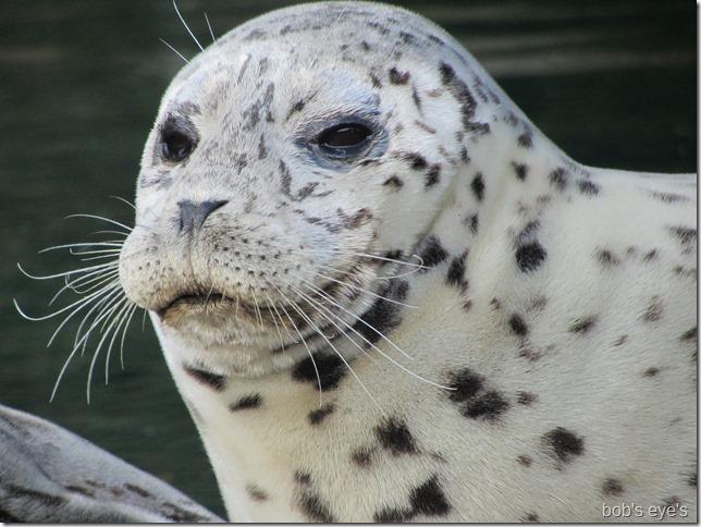 sealface