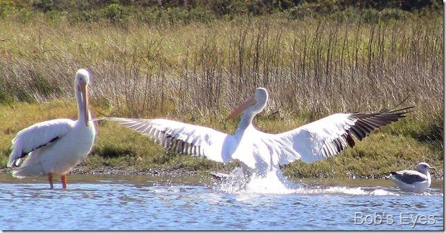 pelicanflys2