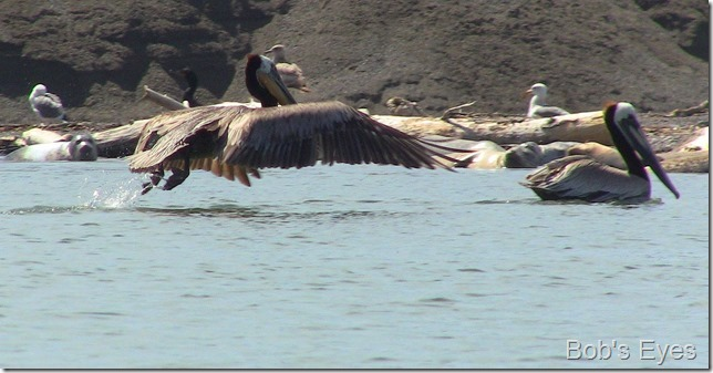 pelicanfly