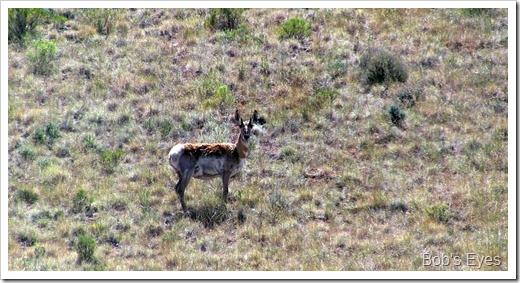 anelope