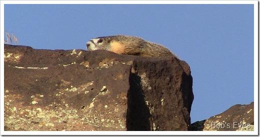 marmot3