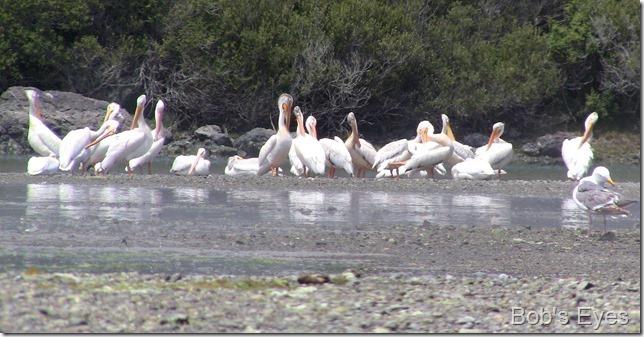 whitepelicans