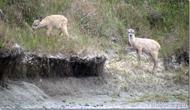 fawns2