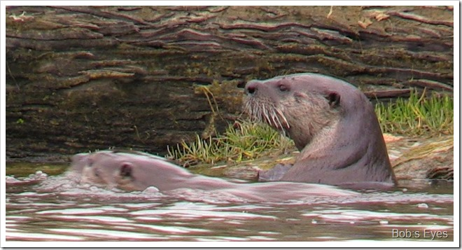 otters5