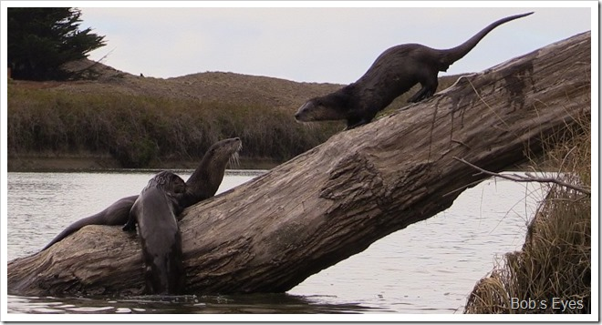 otters7