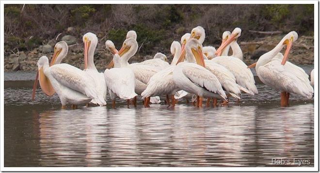 pelicanbill