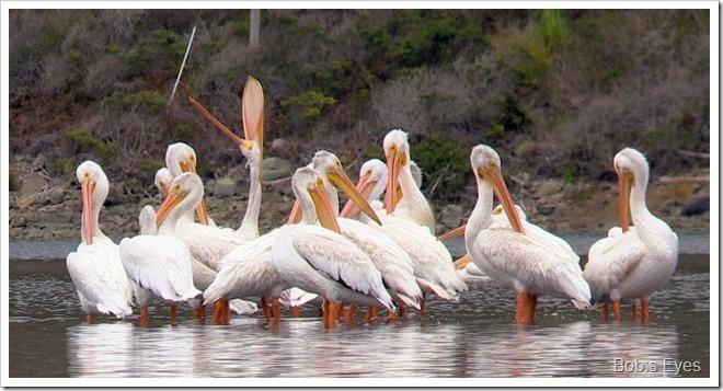 pelicanbills