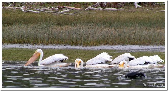 pelicansfeeding