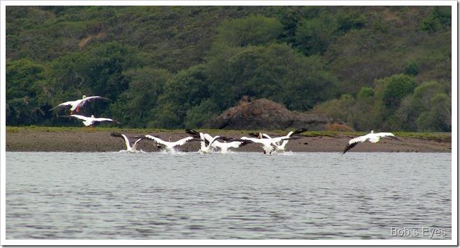 pelicansflying