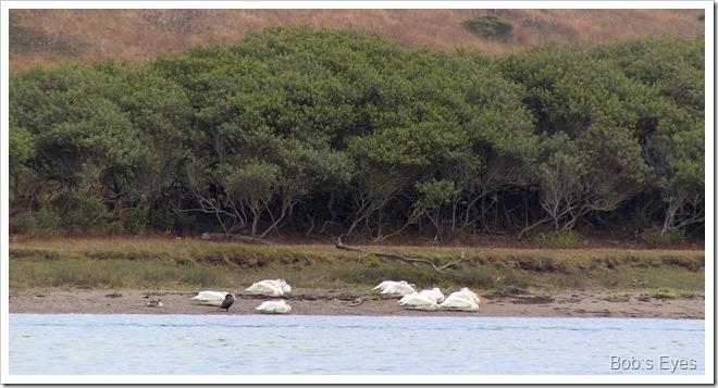 pelicanssleeping