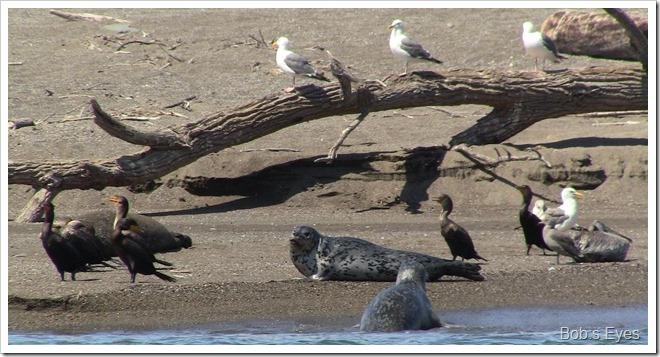 sealssbird