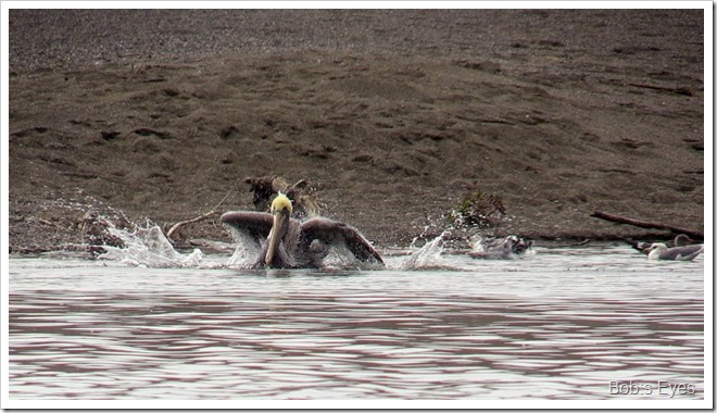 pelicanbath