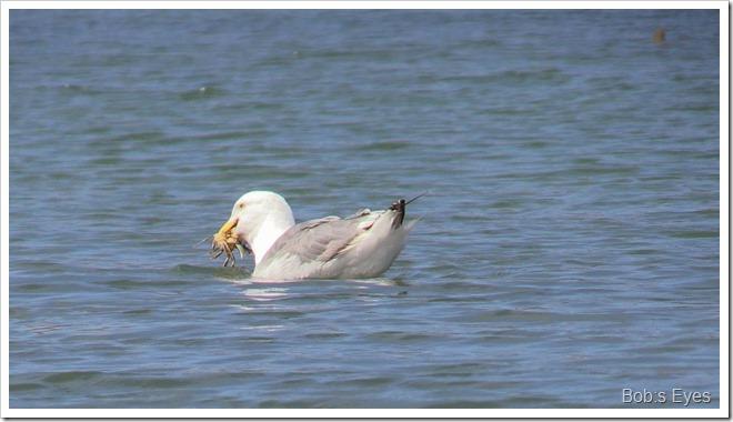 seagullcrab