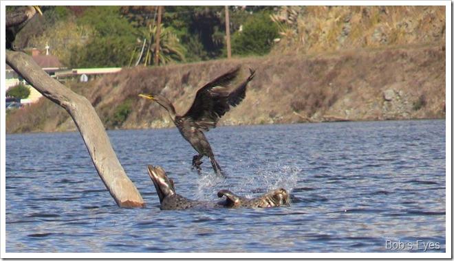 cormorantseal