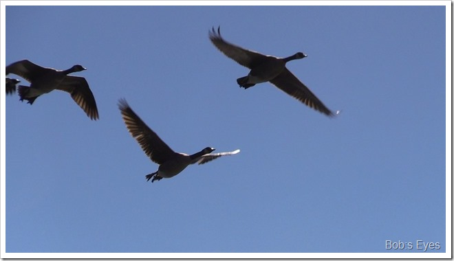 geesefly
