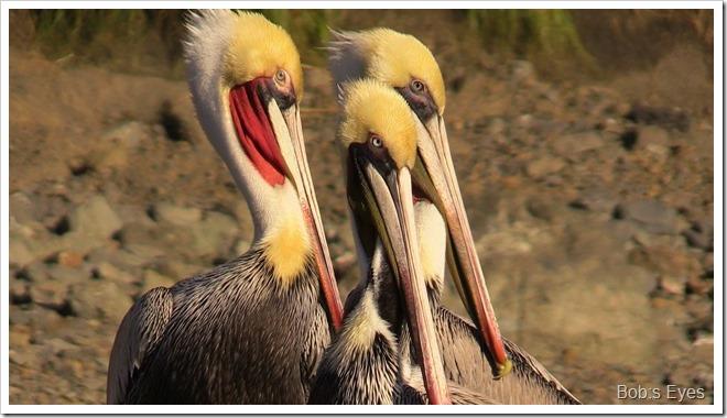 pelicansred