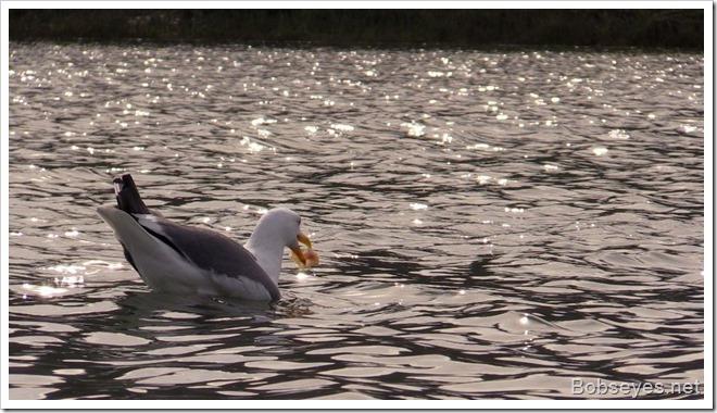 seagullfish