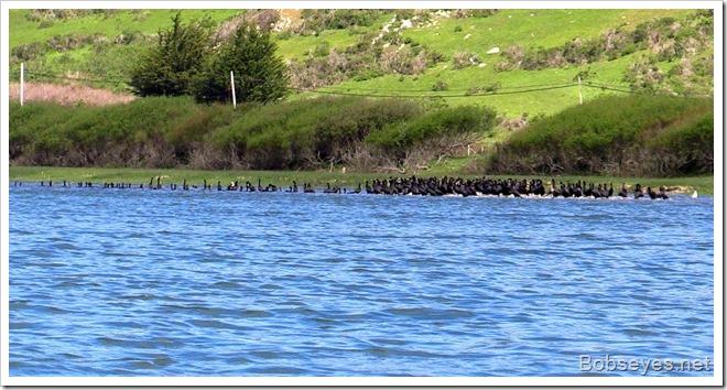 corfmorants