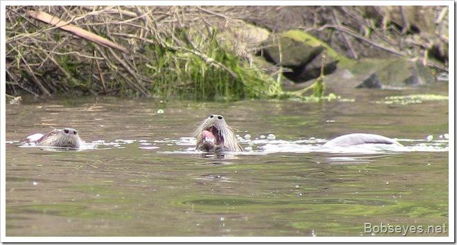otters2