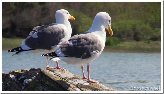 seagullls