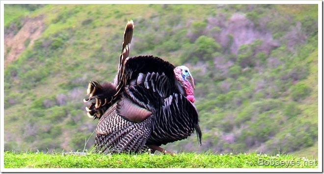 turkeytom