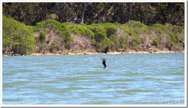 cormorantfish