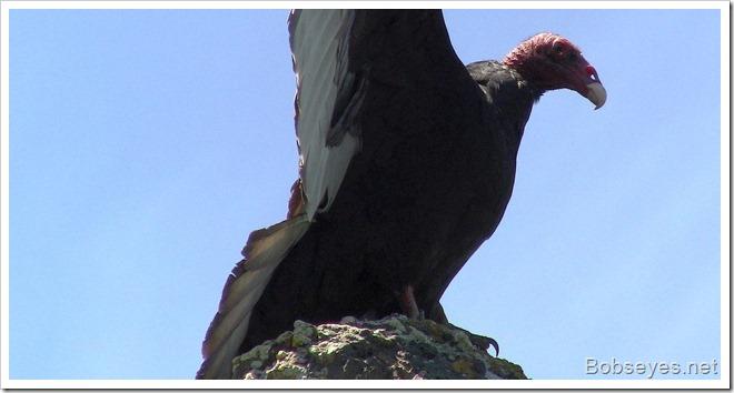 vultureclaw