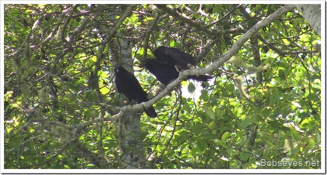 crows2