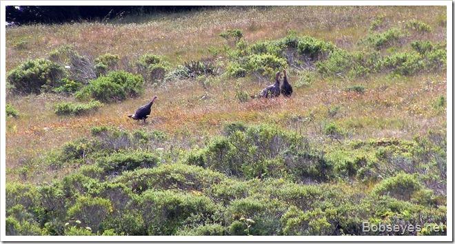 wildturkeys