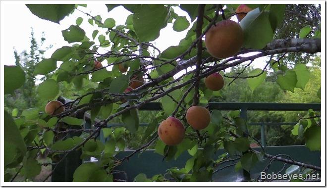 apricotgs