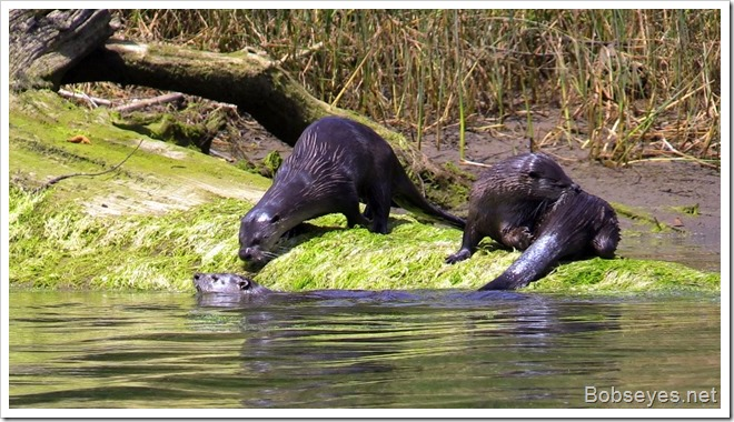 otters2