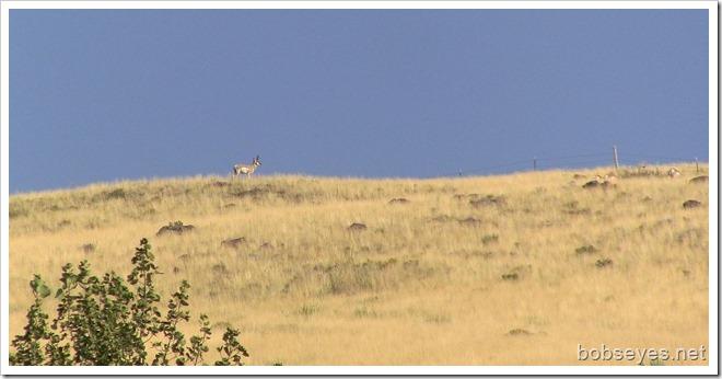 antelopebuck