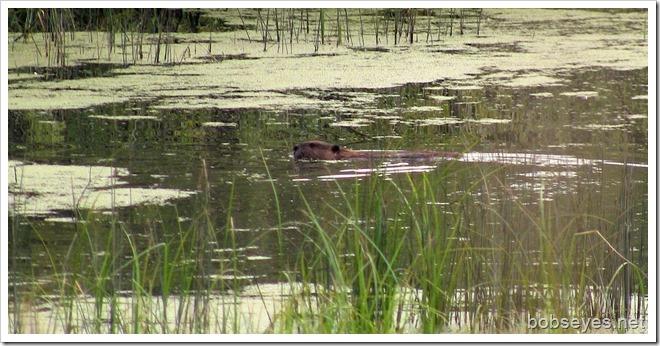 beaver3