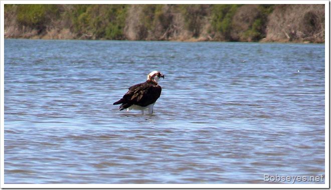 Ospreywater