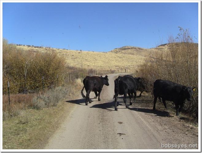 bovines